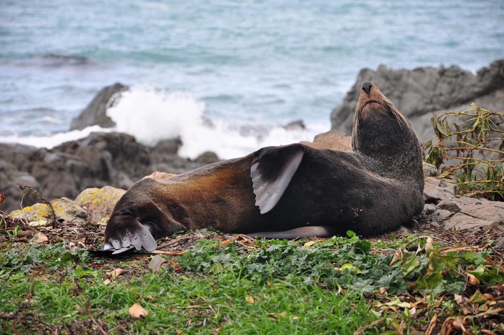 Seelöwen bei Kaikoura