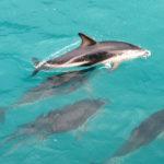 Schwimmen mit Dusky Dolphins – Kaikoura