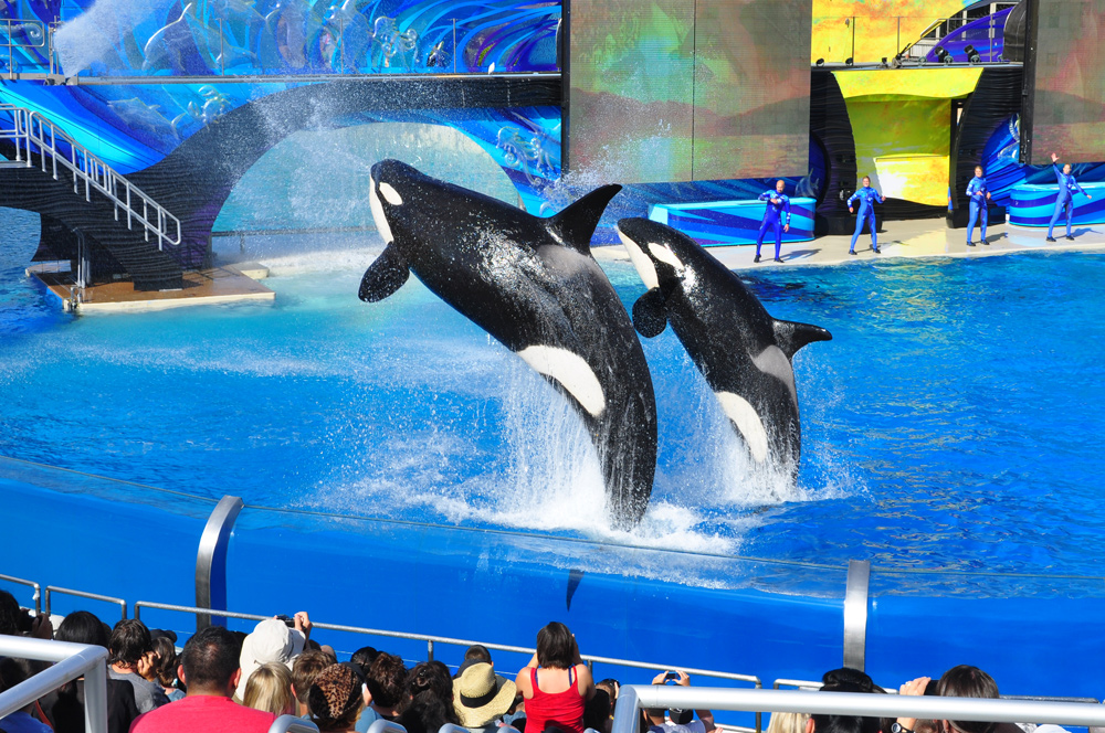 Shamu im SeaWorld in San Diego
