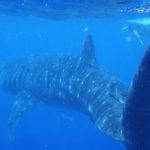 Schnorcheln mit Walhaien im Golf von Mexiko