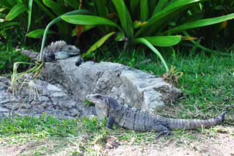 Auch Leguane fühlen sich hier sichtlich wohl.