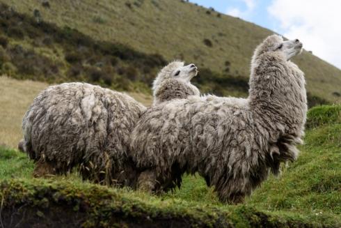 Erste Lamas auf unserer Reise