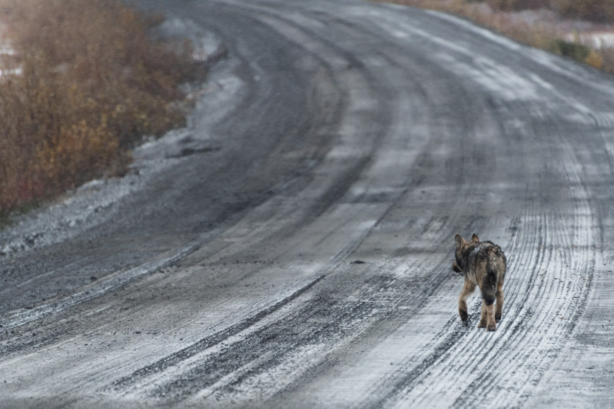 Ein Wolf!
