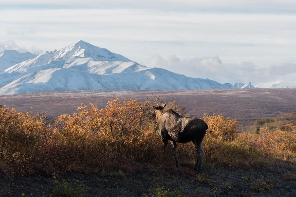 Ein Moose im Nationalpark