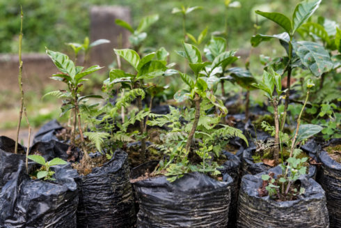 junge Kaffeepflanzen