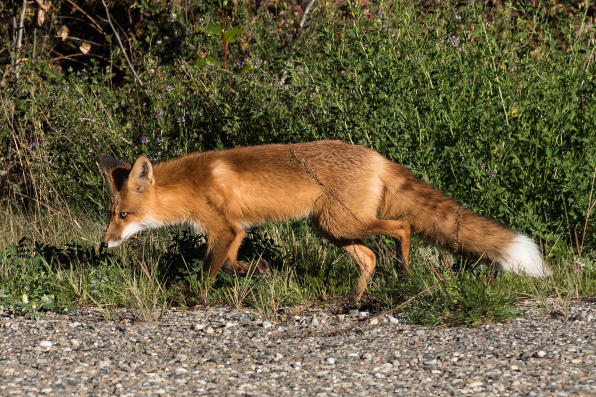 Ein Rotfuchs am Klondike Highway