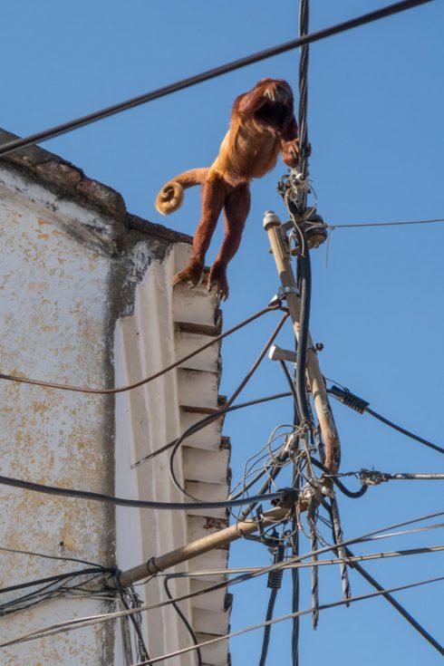 Ein Affe im Stadtzentrum