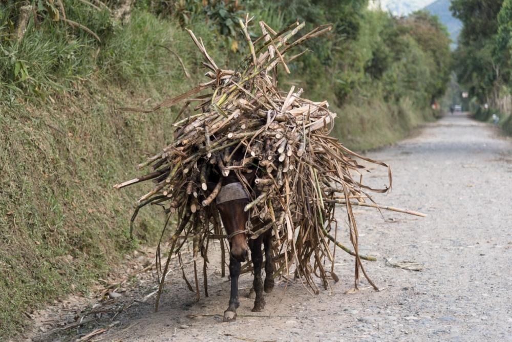 Esel getarnt als Zuckerrohr