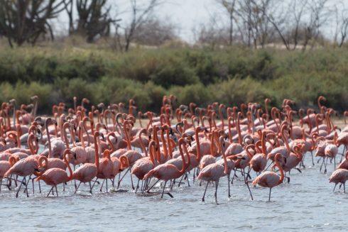 Flamingos in la Guajira