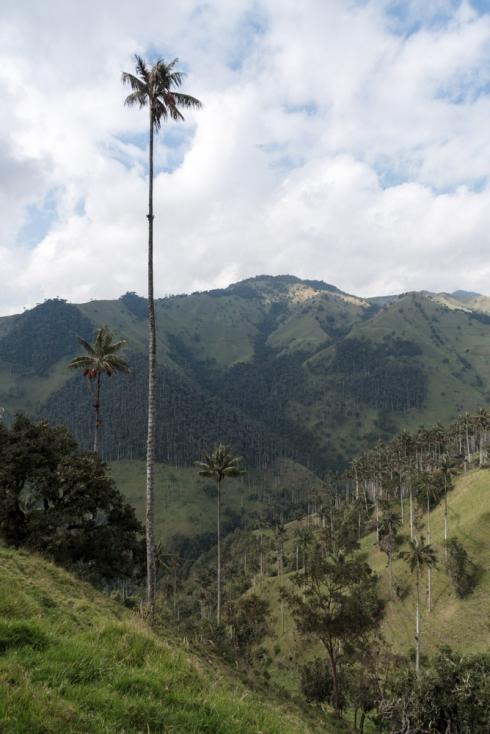 Wachspalmen im Valle del Cocora